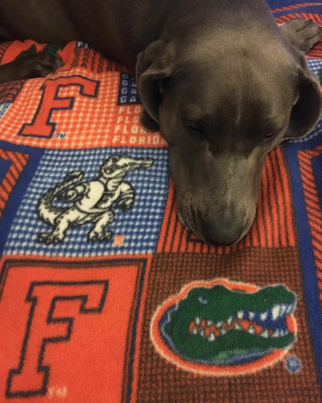 dog on Univ of Florida blanket