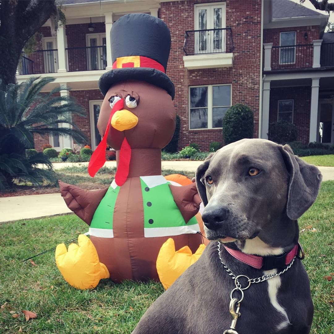 dog and another inflatable turkey