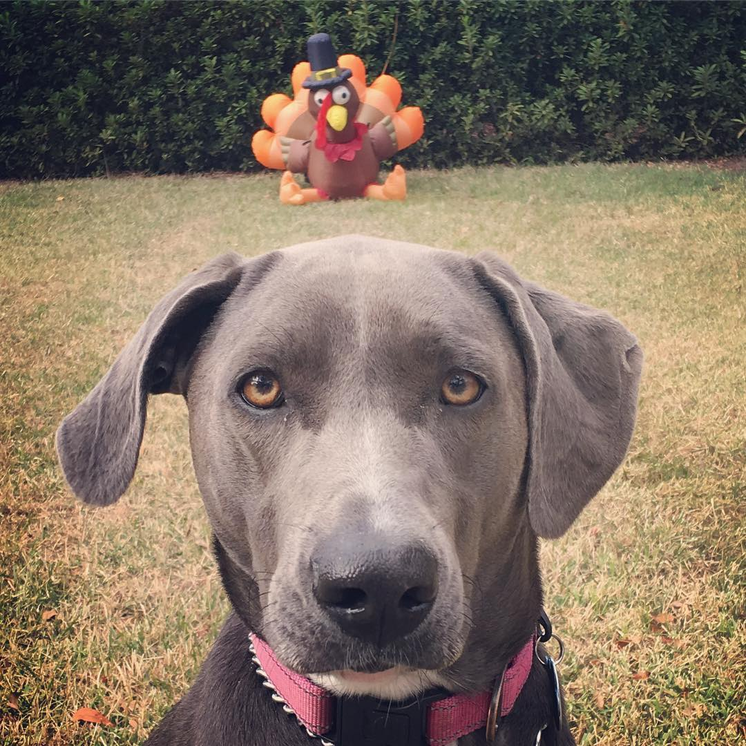 dog and inflatable turkey