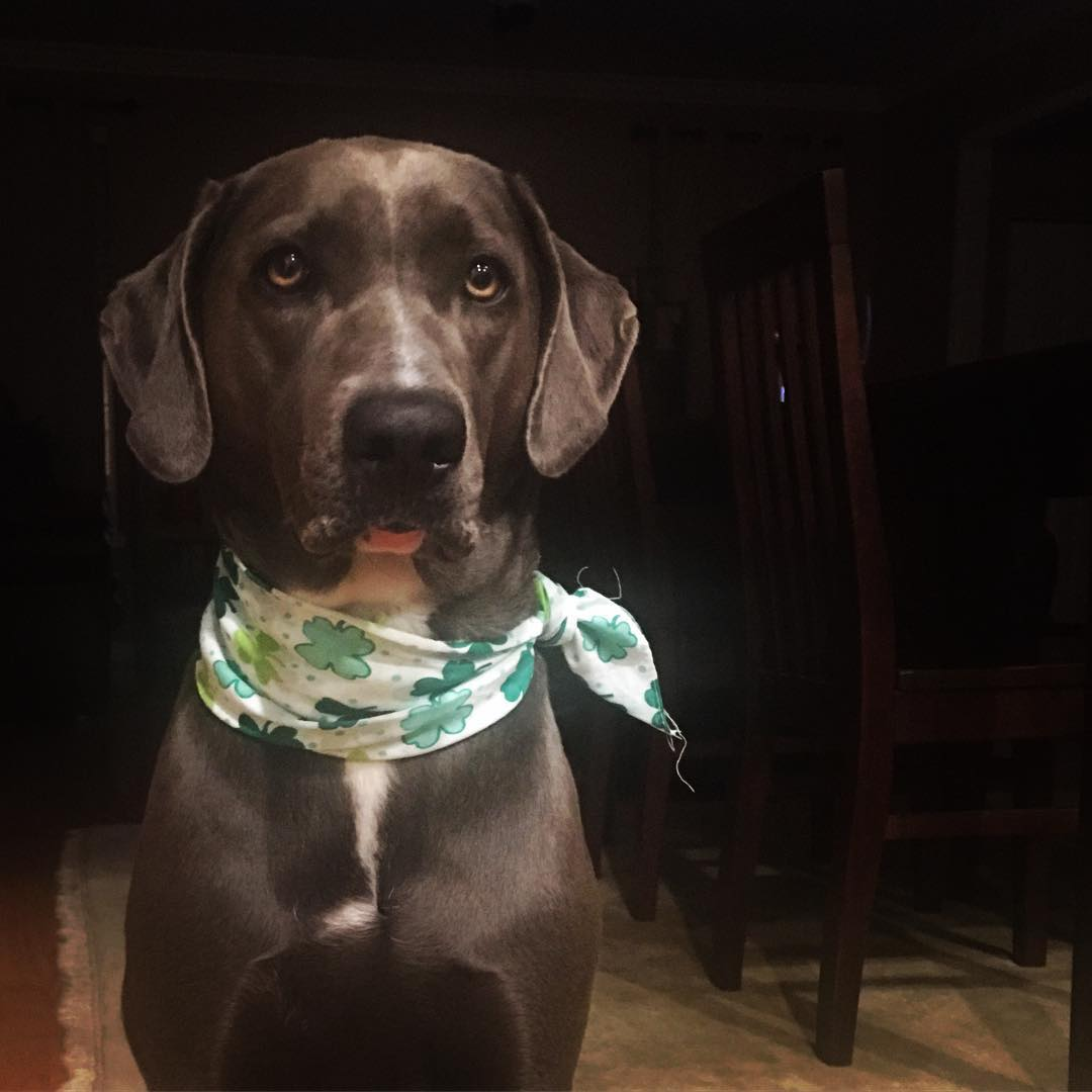 dog with shamrock bandana