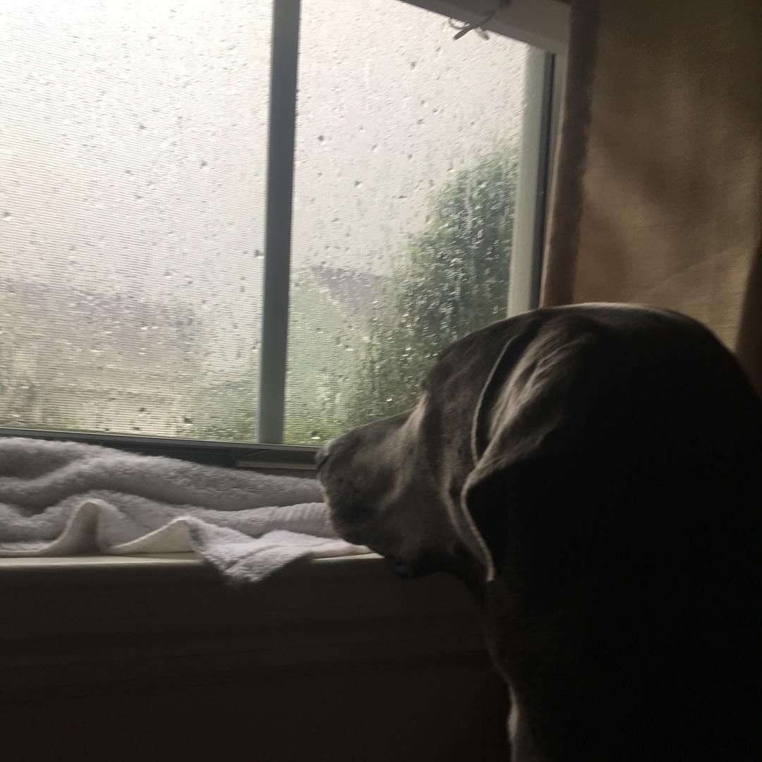 dog looking at rain