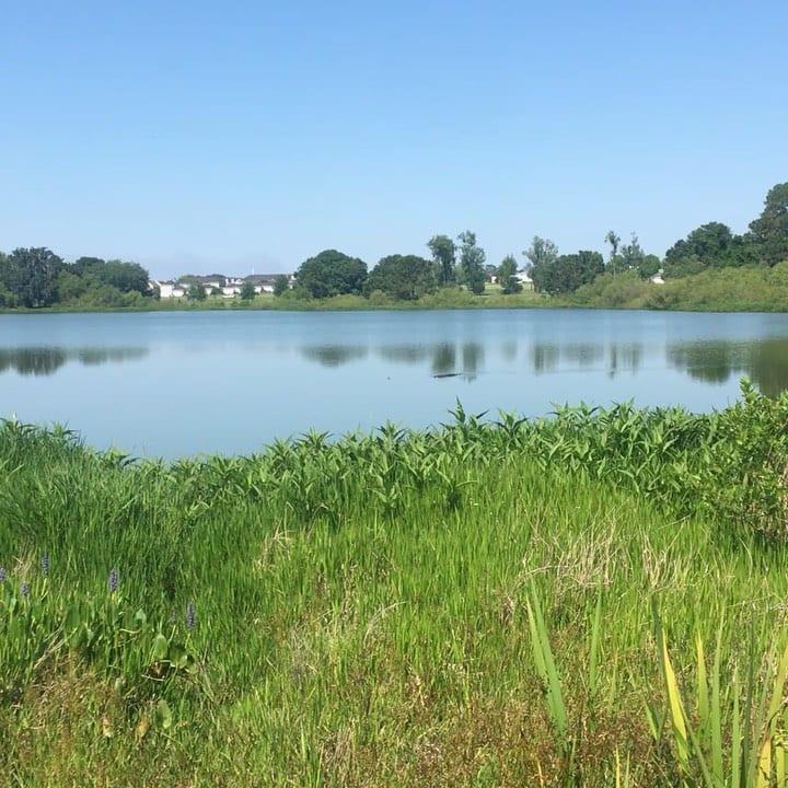 gator in lake