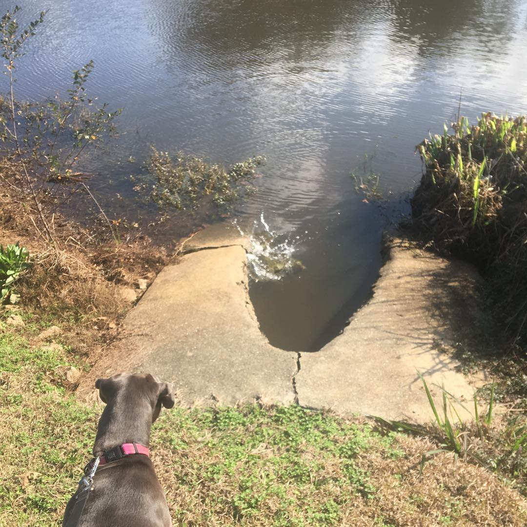 dog watching turtles jump in lake