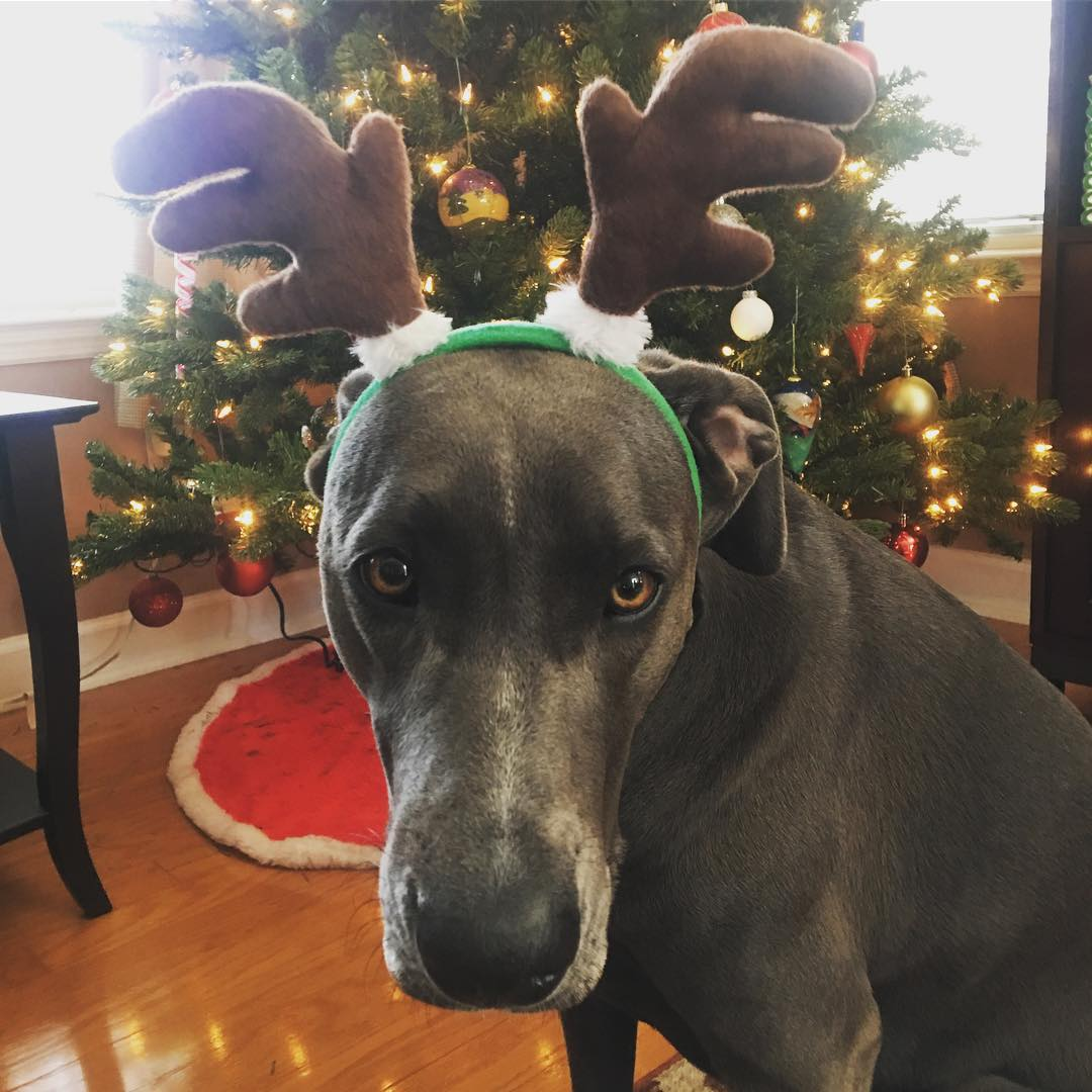dog with toy antlers on head in front of xmas tree