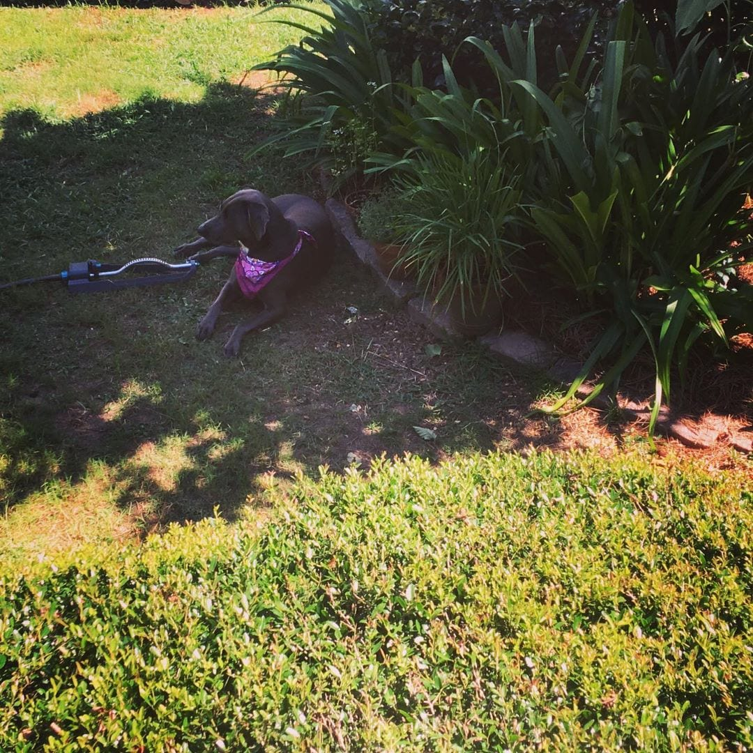 dog sleeping by sprinkler