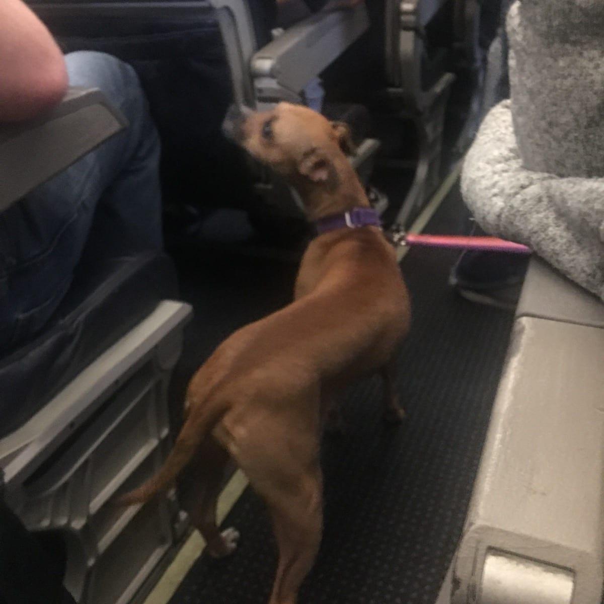 a dog on a plane