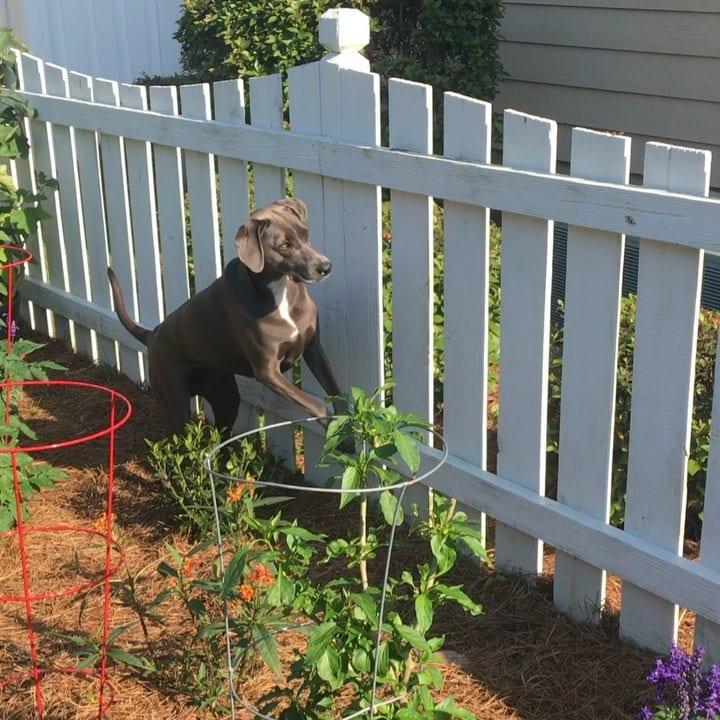 dog chasing lizard on fence