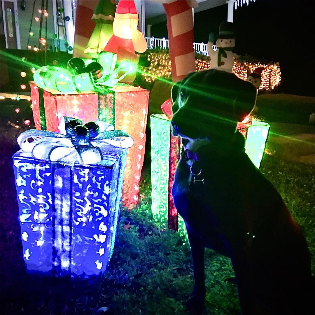 the dog and xmas lights