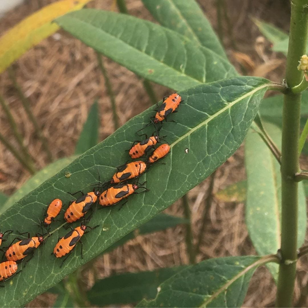 milkweed bugs on a leaf