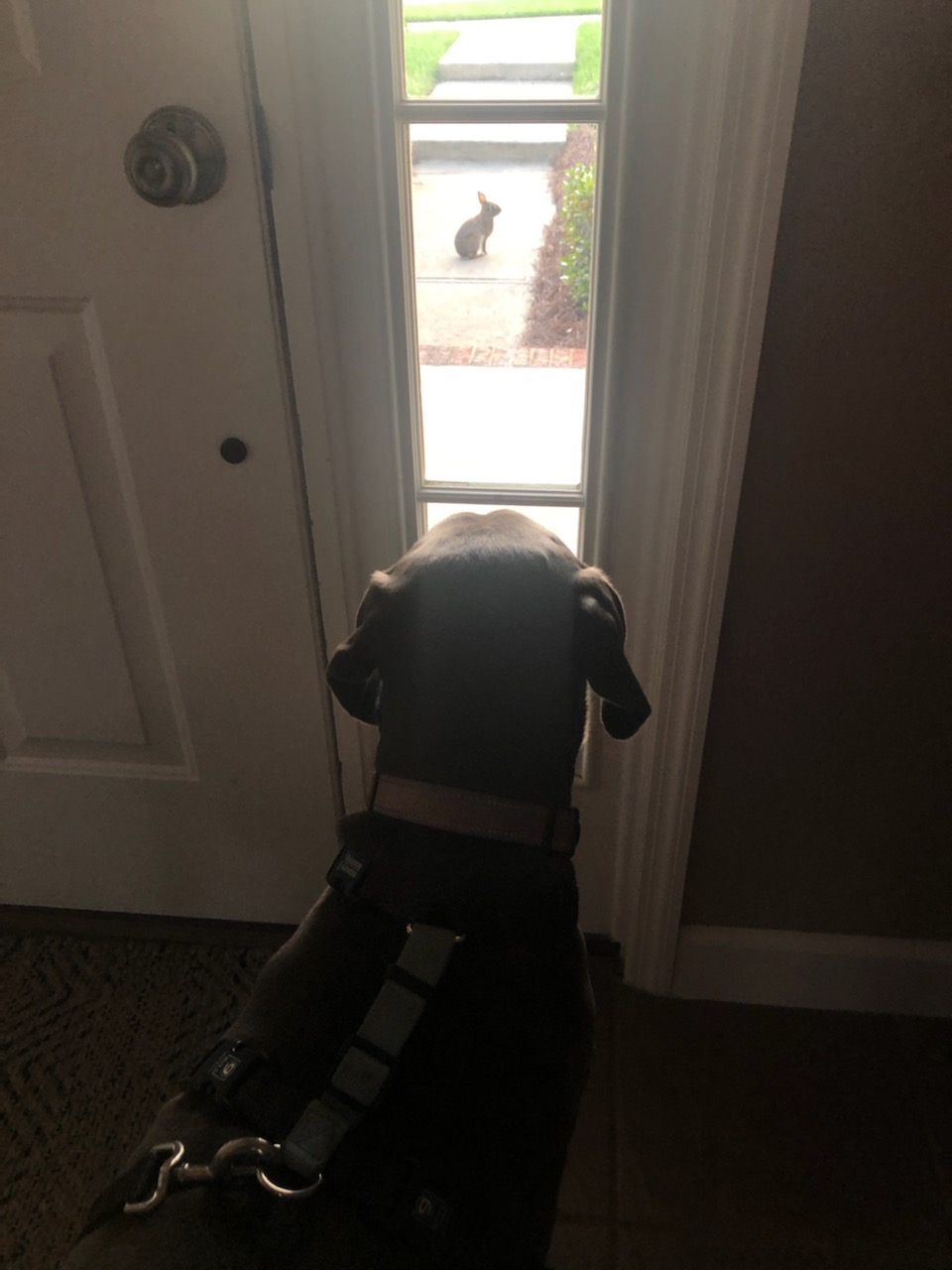 Dog seeing bunny through window
