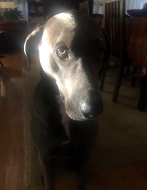 a dark gray dog