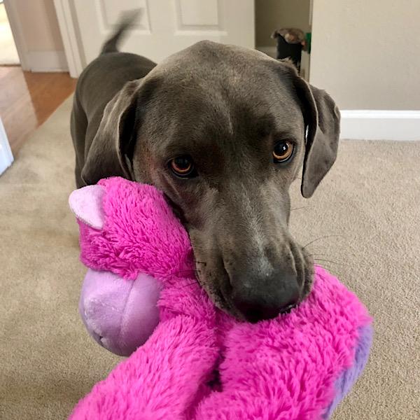Dog with hot pink Xmas gorilla