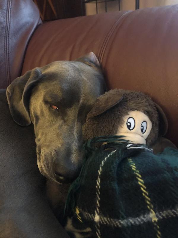 dog with toy, closed but bloodshot eye