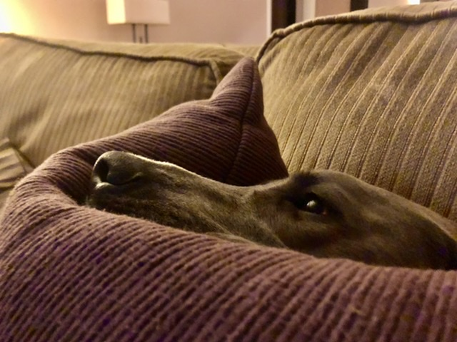 Dog in cushions